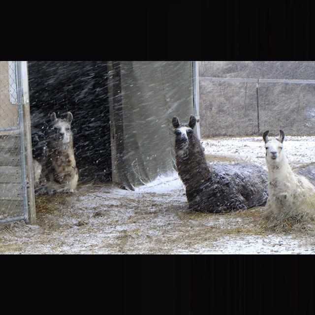 Winter Llamas
