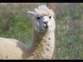 meme-Chicikens_alpaca_white