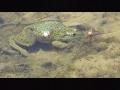 meme-Frog