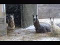 meme-winter_llamas